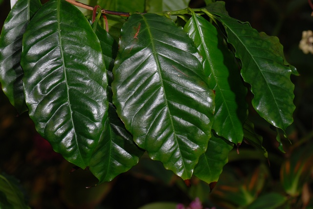 Coffea arabica