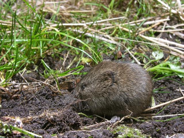 Peltomyyrä (Microtus agrestis)