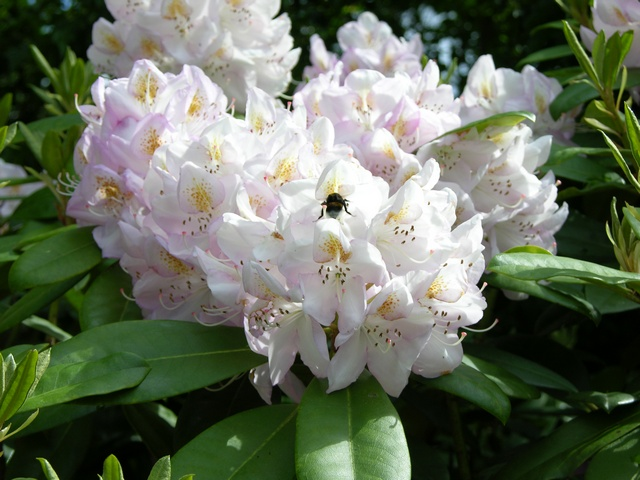 Rhododendron (Gomer Watere)