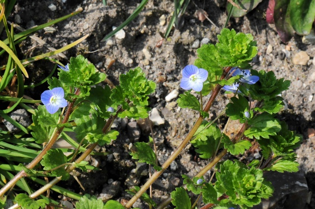Persiantädyke, Tournefortintädyke (Veronica persica) kuva