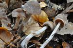 Cortinarius casimiri