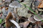 Cortinarius flexipes