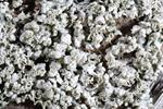 Physcia adscendens