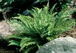 Woodsia polystichioides